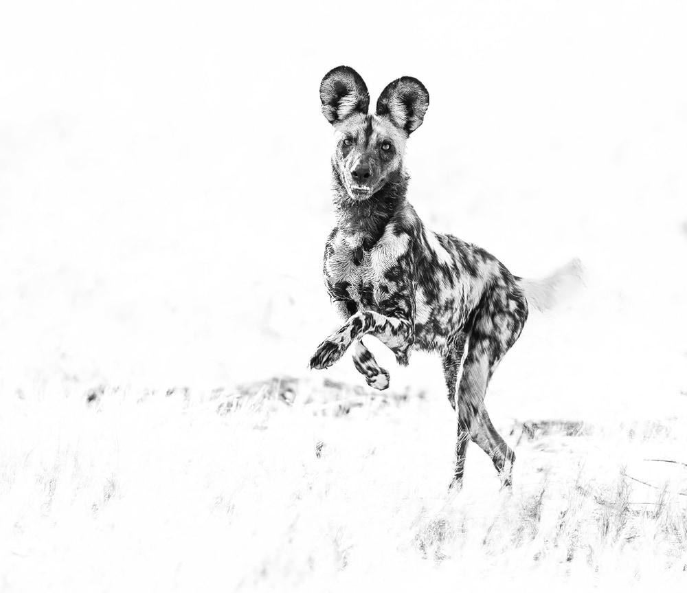 Africanwildog run 2