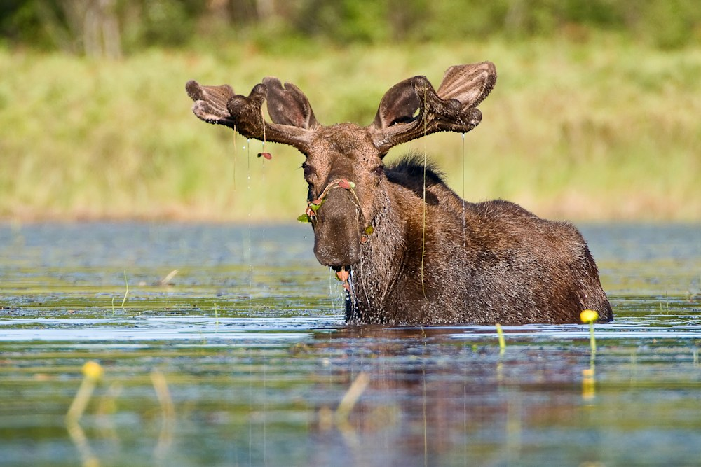 Bull Moose with Ornaments