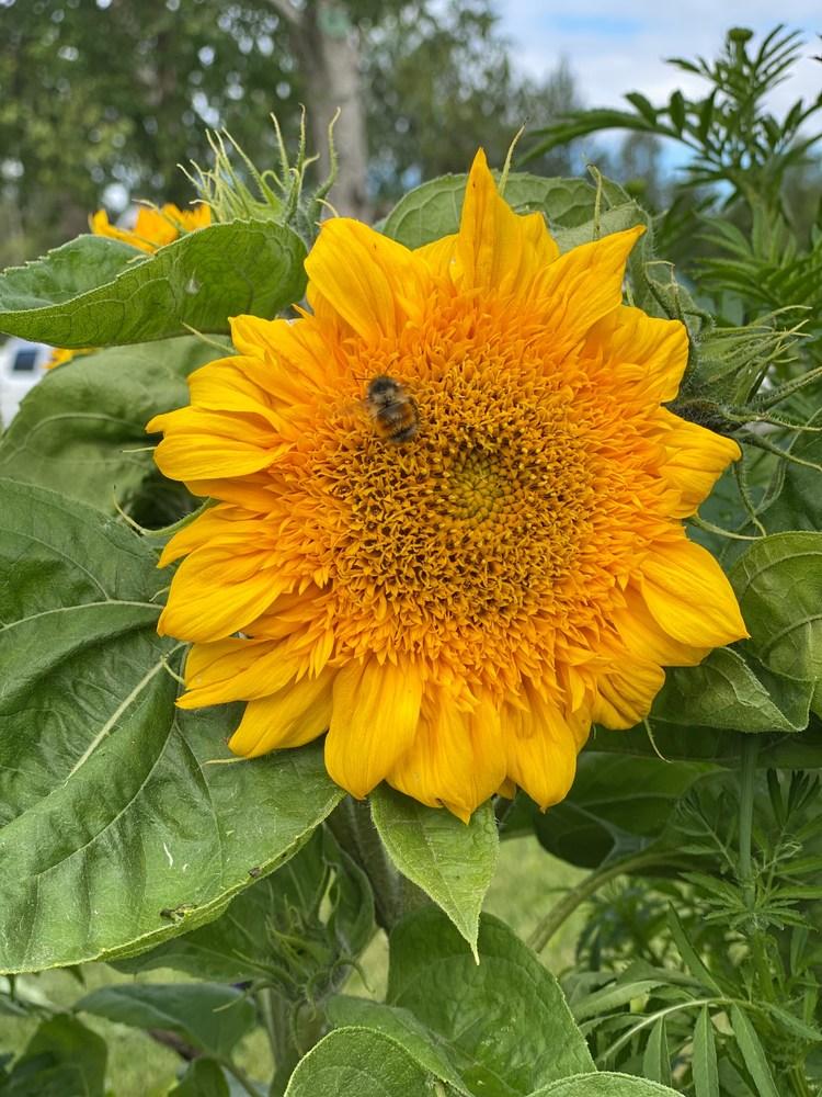 SunflowerBee21