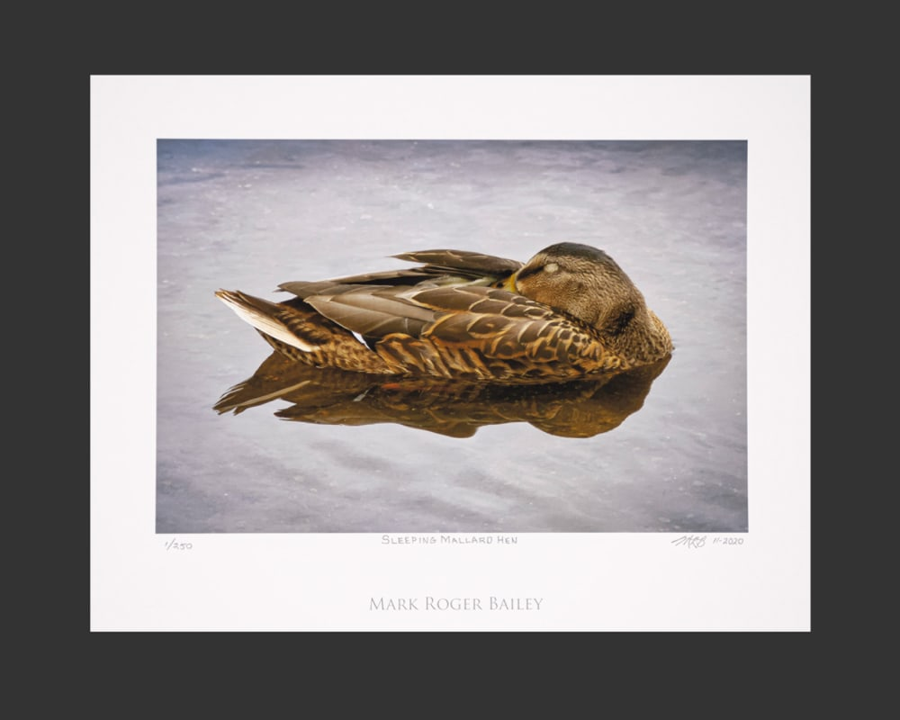 Sleeping Mallard Hen 6x9