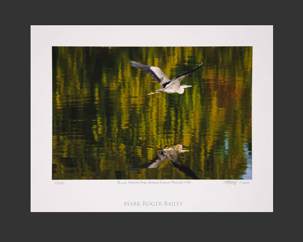 Blue Heron Over Green Forest Reflection