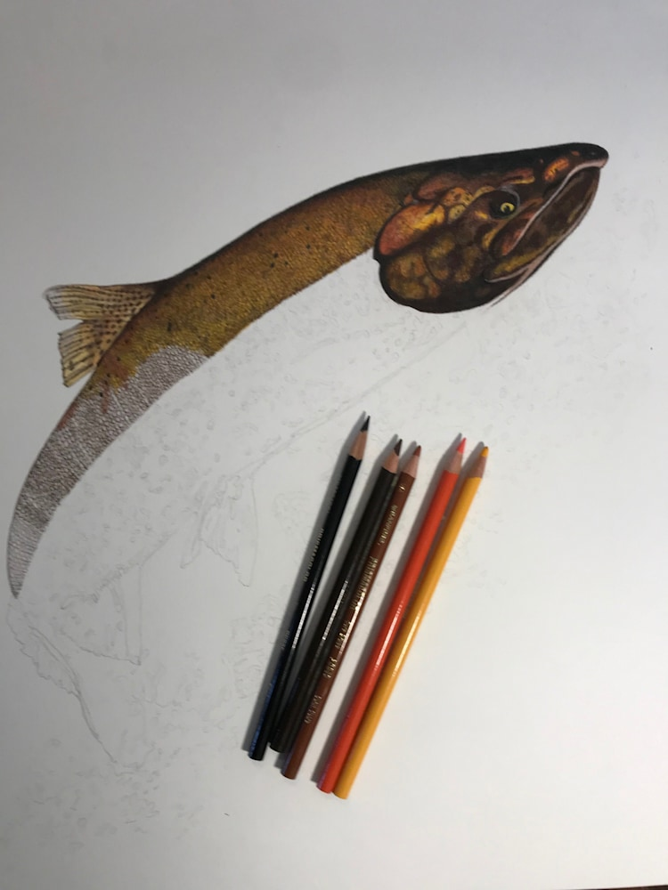 King Salmon Progress 5