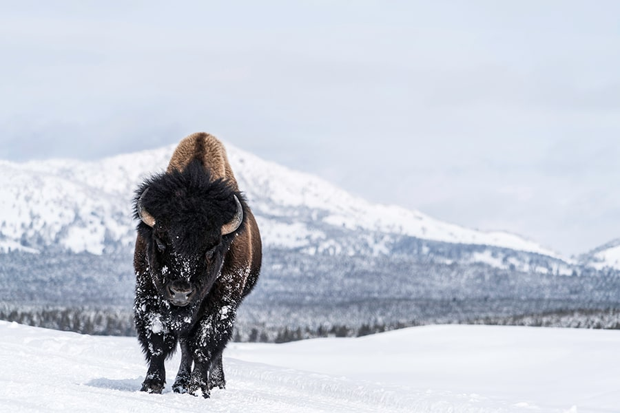 Bison in Snow Yellowstone  aluminum print