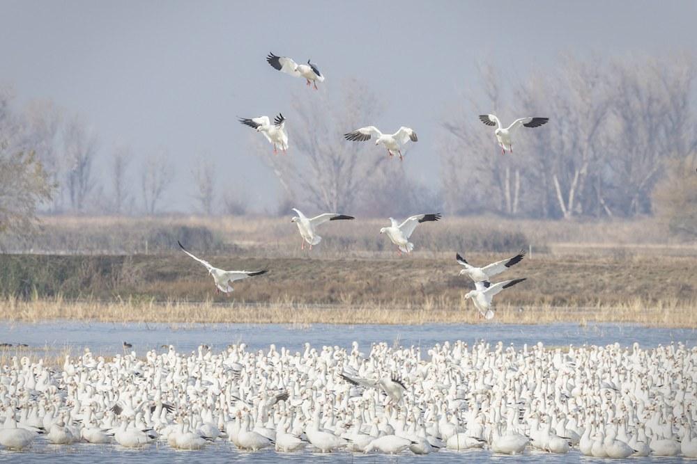 Ross's Geese Landing