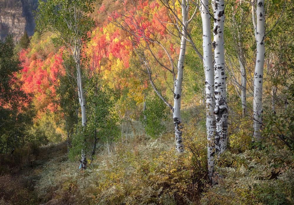 Aspen and Red Maples Utah
