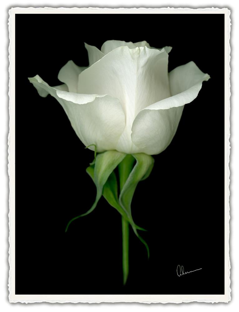 100602 4x6xrr Single White Rose front