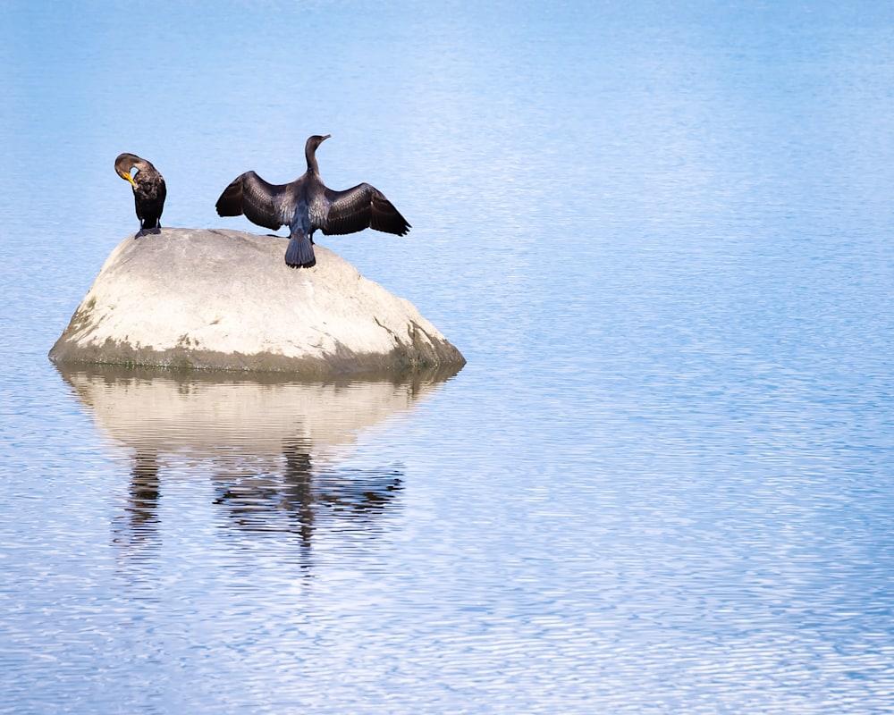 Cormorants   North Cove