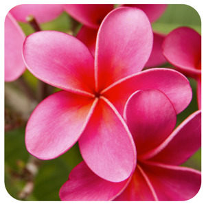 Hot Pink Plumeria Coaster !