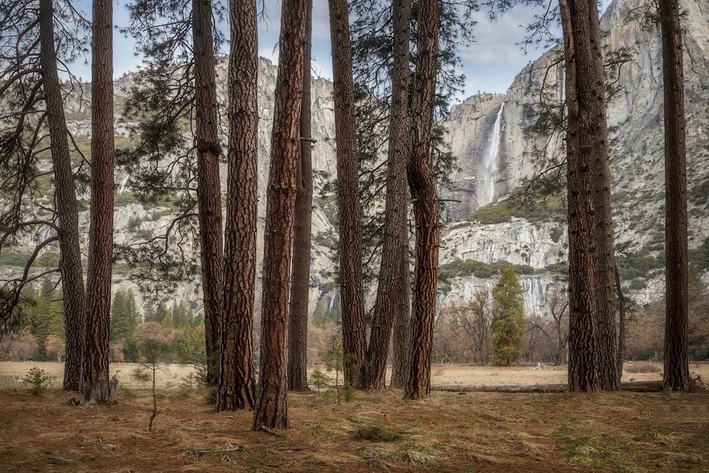Yosemite Falls and Ponderosa Pines