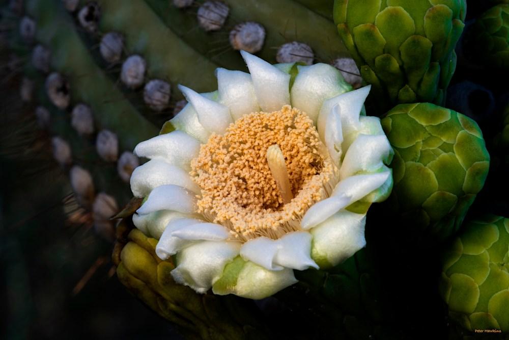DP646 Saguaro Flower