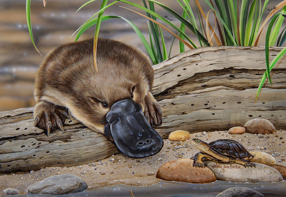 Neighbourly Greeting Platypus Eastern long necked turtle