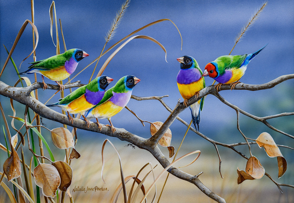 Northern Colours Gouldian Finches