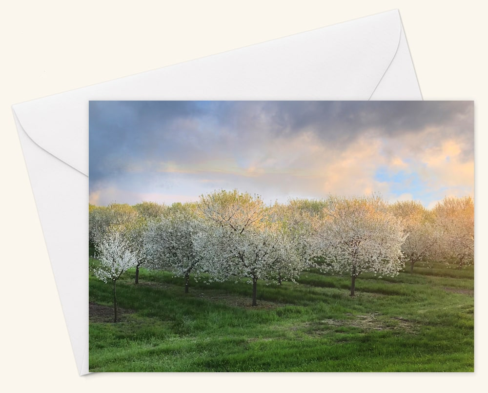 Field of Cherry Blossoms  Card w Envelope