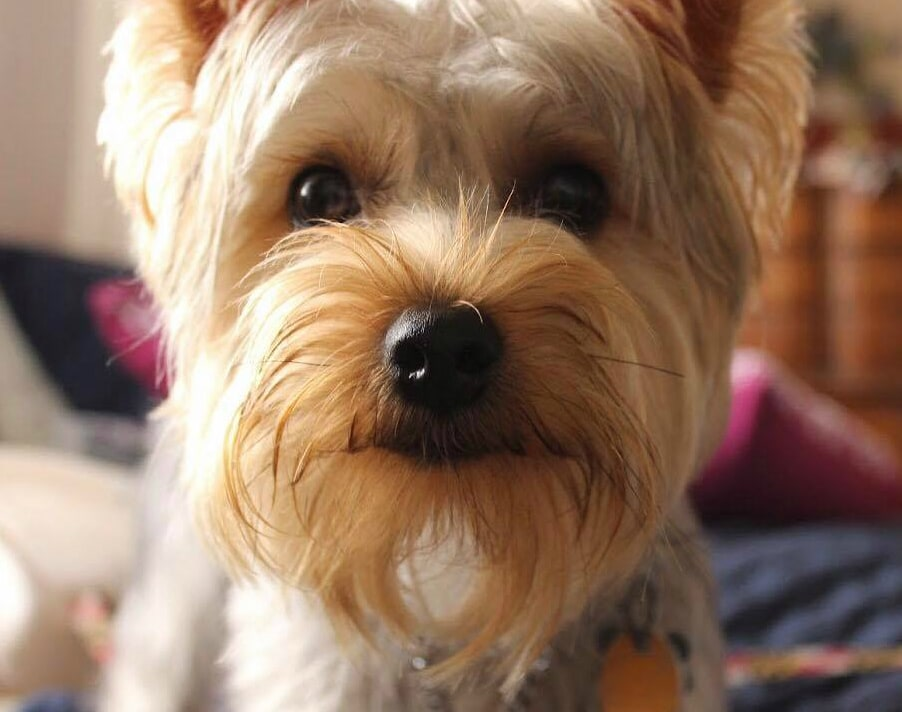 Image of Mango, a honey and silver colored Yorkshire Terrier