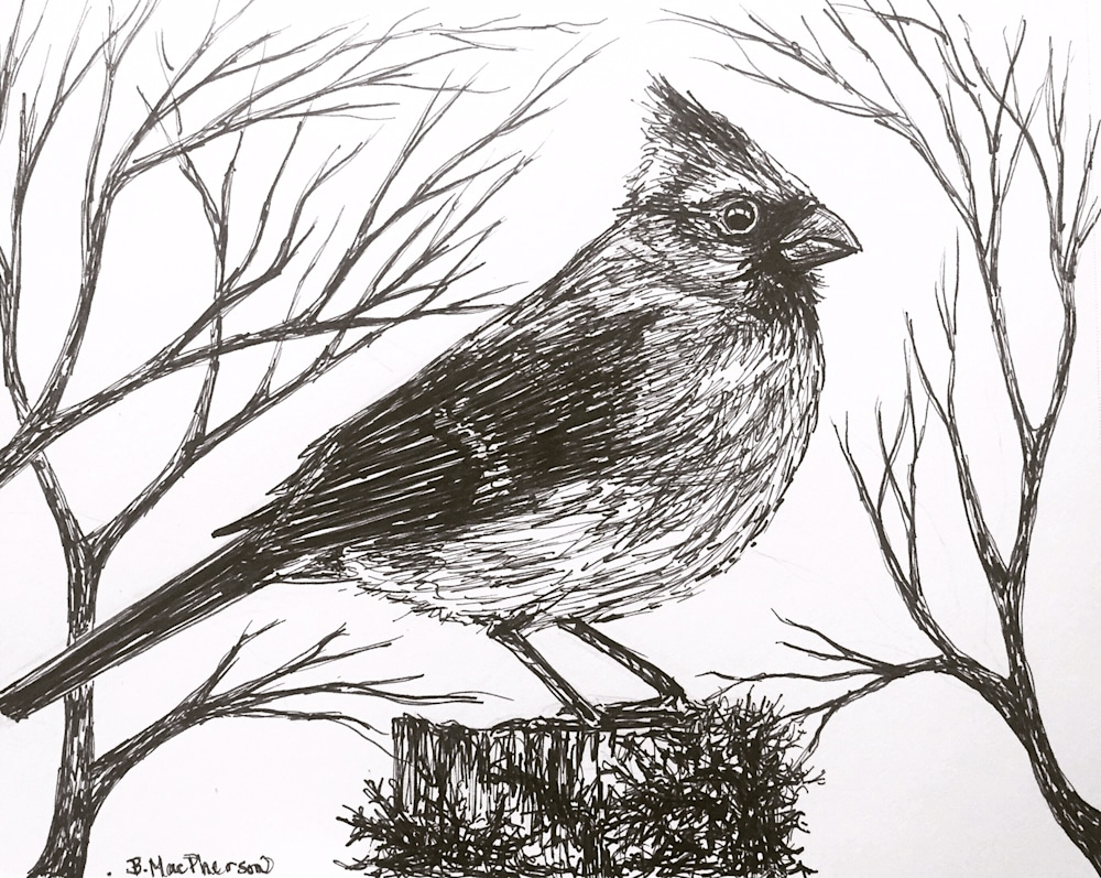 Cardinal Pen and Ink Illustration by Becky MacPherson