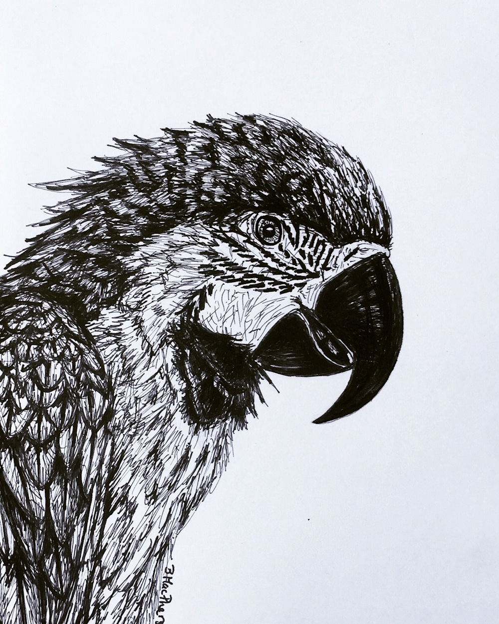 Parrot Illustration by Becky MacPherson