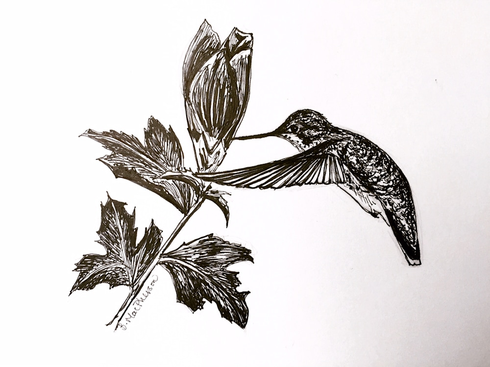 Hummingbird and Rose of Sharon Pen and Ink Illustration by Becky MacPherson