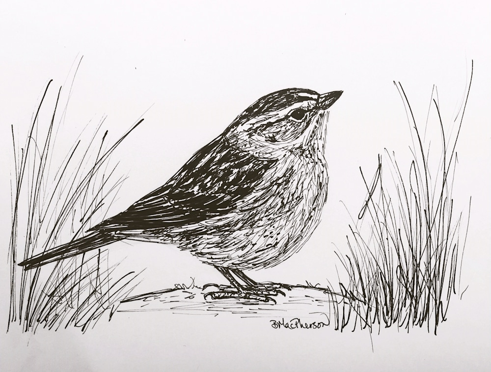 Sparrow on the Ground Illustration by Becky MacPherson in Pen and Ink