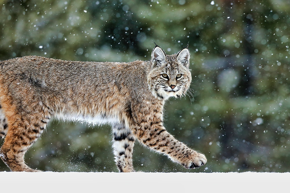 Bobcat Wildlife Photography Prints | Robbie George
