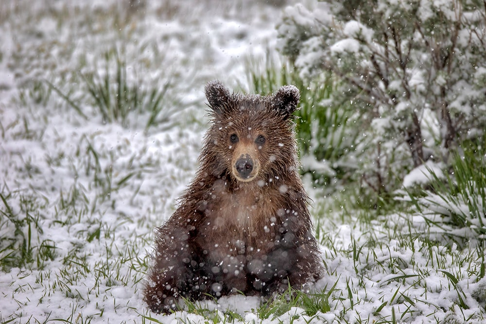Grizzly Cub Wildlife Prints | Robbie George