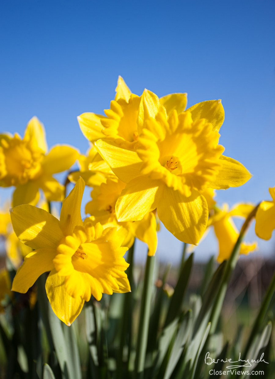 Sunny Spring-time Daffodils