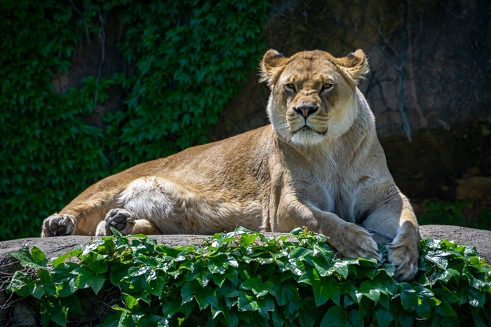 A lioness sunning herself at Lincoln Park Zoo