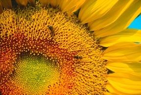 Busy Sunflower
