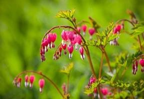 Bleeding Hearts flowers