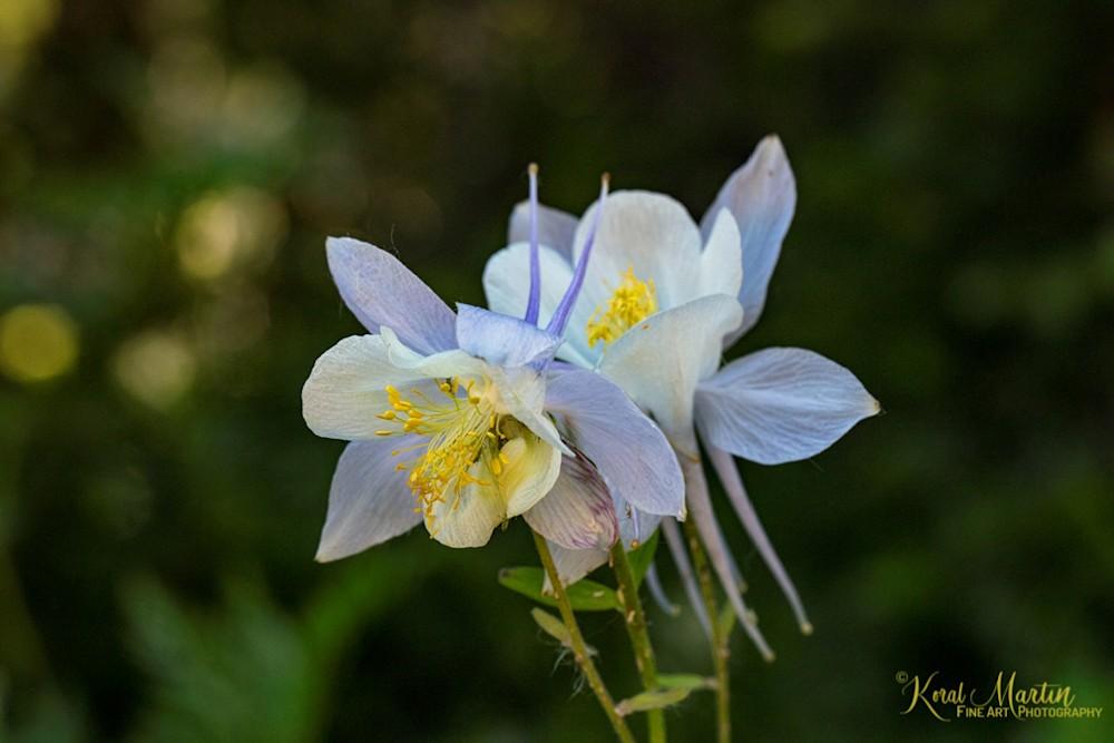 Columbine Wildflowers Snodgrass Trail Photograph by Koral Martin