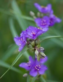 Ohio Spiderwort flowers