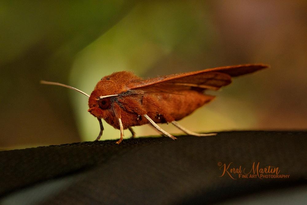 Moth Hitchhiker