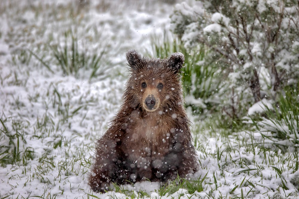 Grizzly Bear Cub | Robbie George Photography