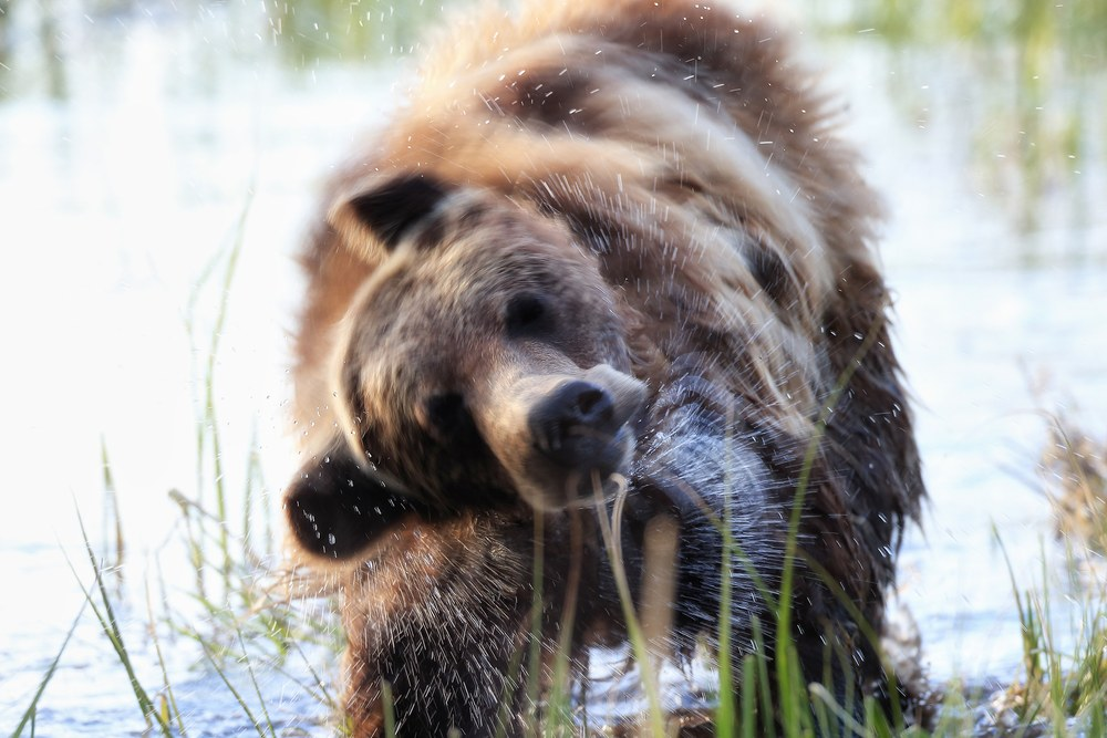 Grizzly Bear Wildlife Art | Robbie George Photography