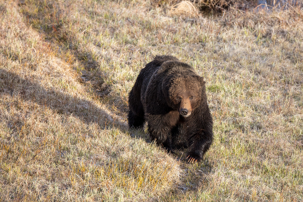 Male Grizzly Bear | Robbie George Photography