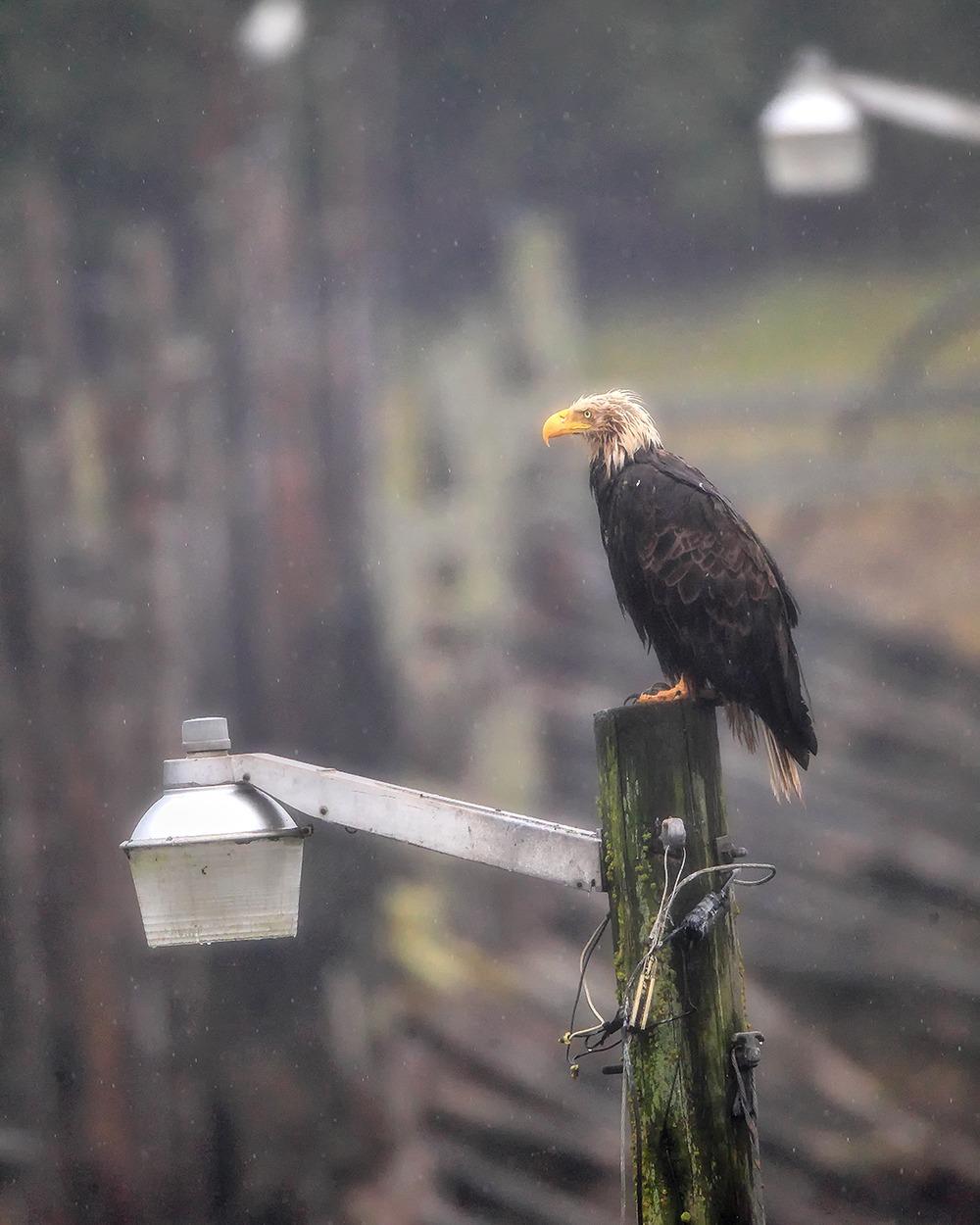 Bald Eagle | Robbie George Photography