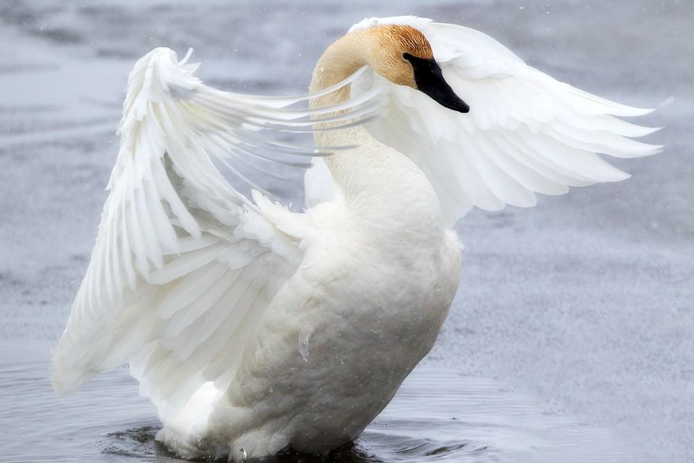 Trumpeter Swan Wildlife Wall Art | Robbie George Photography