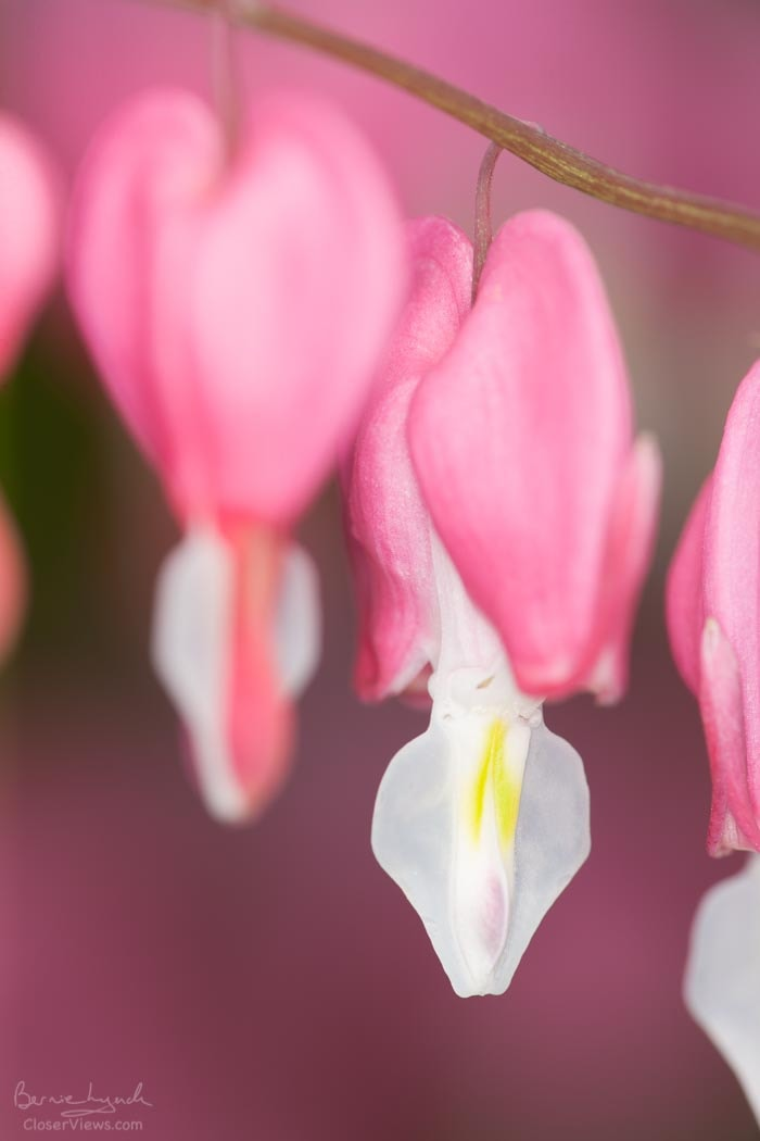 Bleeding Hearts Duo