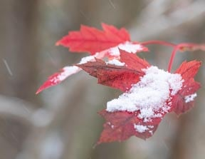snow on maple leaves