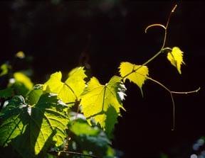 Backlit grapevine reaching