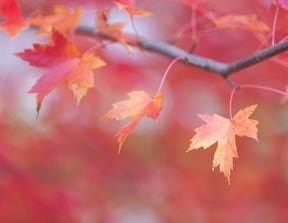 Changing maple leaves