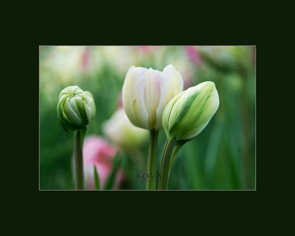 Tulips, Spring Flowers, Elizabeth Park, Greenhouse