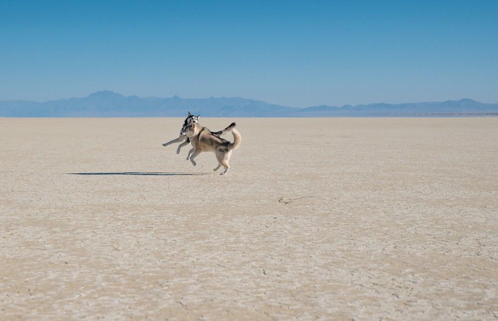 Siberian Huskies Playing on the Black Rock Desert Playa