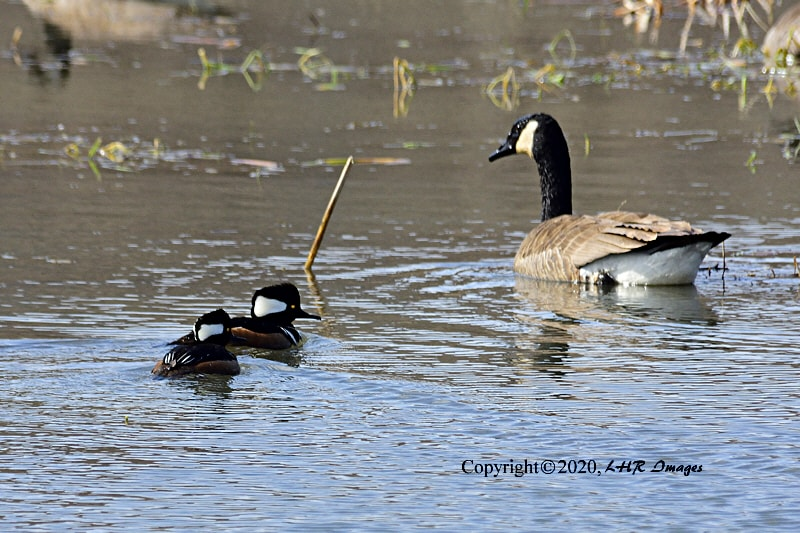 Hooded Mergansers and a Canada Goose