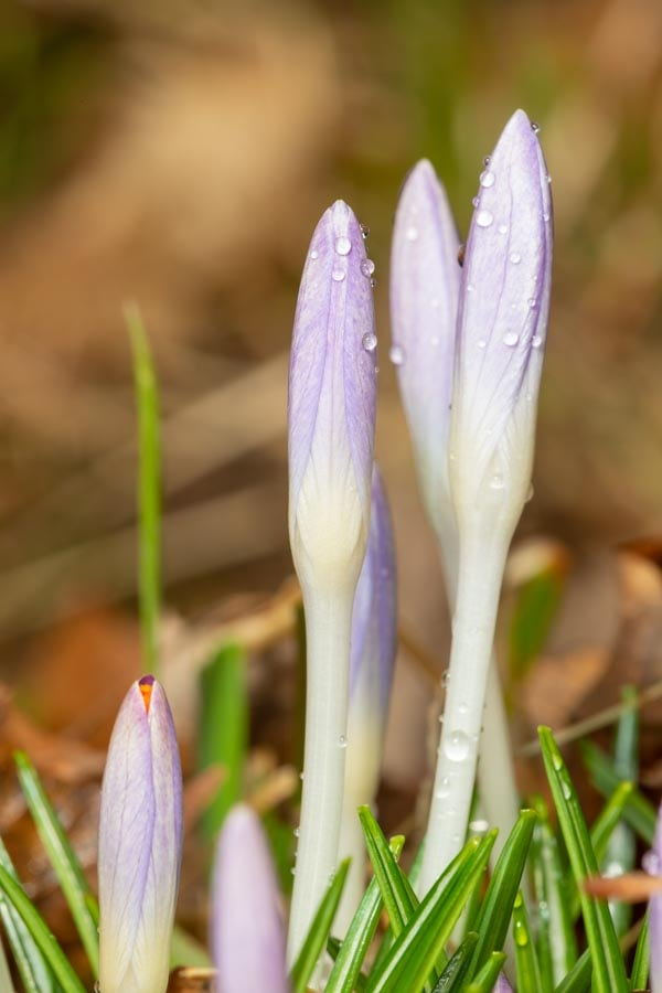 Budding Crocus flowers