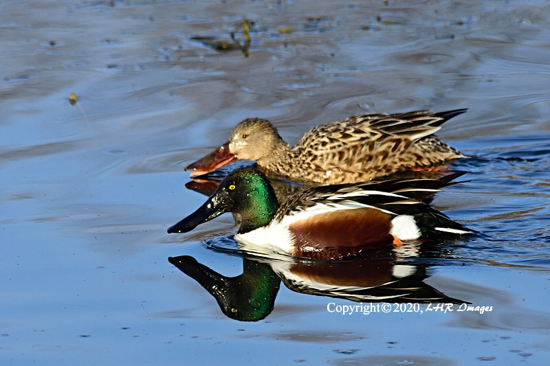 Pair of Northern Shoveler Ducks