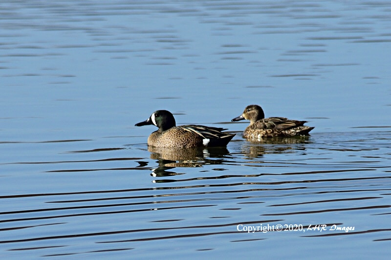 Pair of Blue Winged Teal
