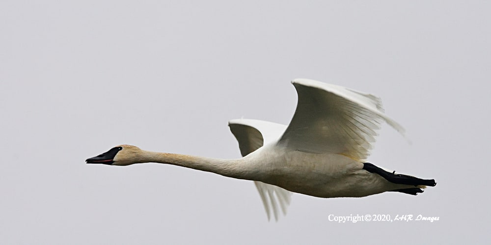 Trumpeter Swan in fllight