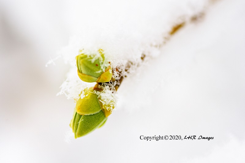 Lilac leaf buds covered with snow