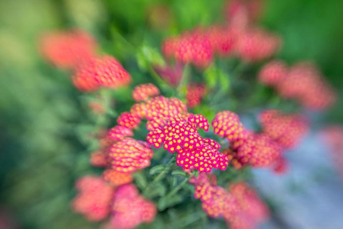 Some pink orange flowers in someone's garden