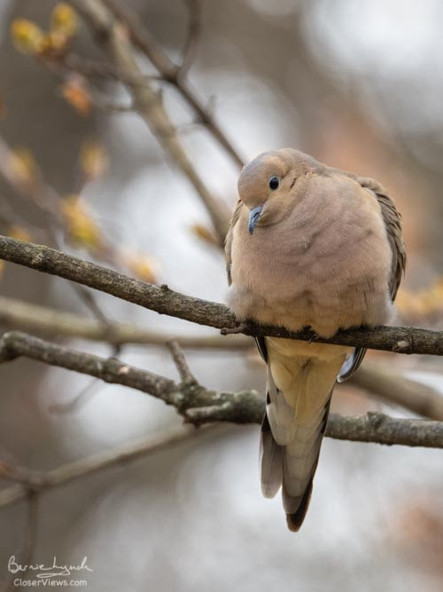 Watchful mourning dove